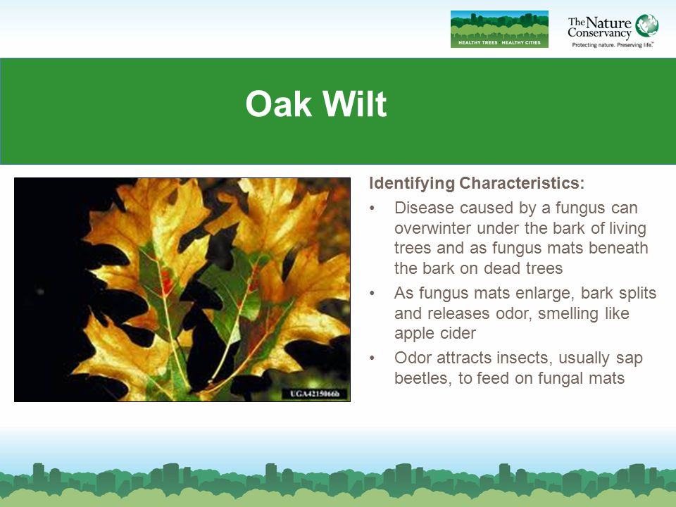 Oak Wilt Identifying Characteristics:
