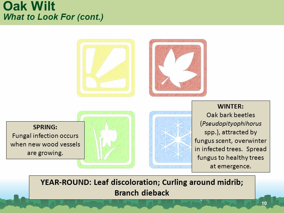 YEAR-ROUND: Leaf discoloration; Curling around midrib; Branch dieback