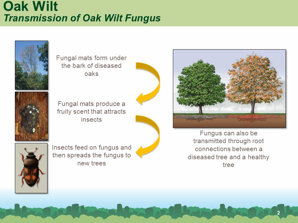 Oak Wilt Transmission of Oak Wilt Fungus