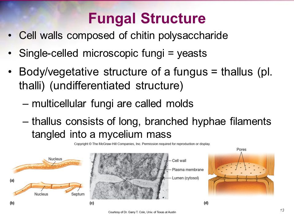 Fungal Structure Cell walls composed of chitin polysaccharide. Single-celled microscopic fungi = yeasts.