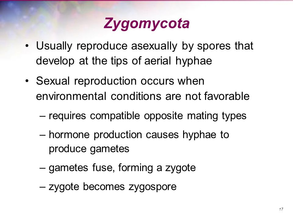 Zygomycota Usually reproduce asexually by spores that develop at the tips of aerial hyphae.