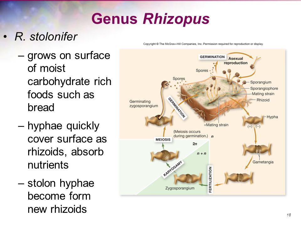 Genus Rhizopus R. stolonifer