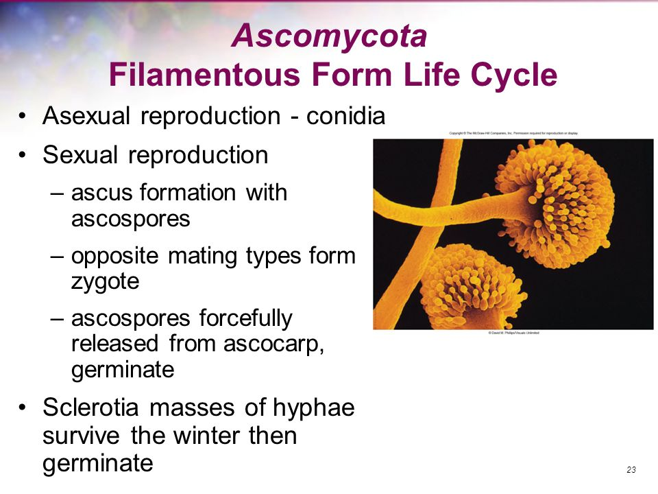 Ascomycota Filamentous Form Life Cycle