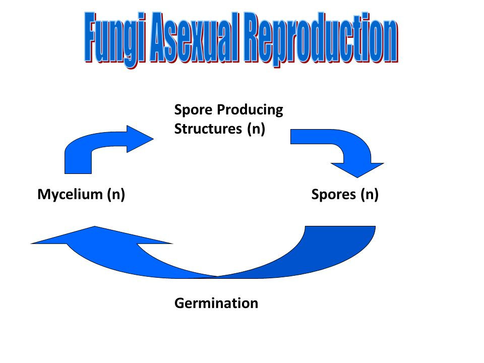 Fungi Asexual Reproduction