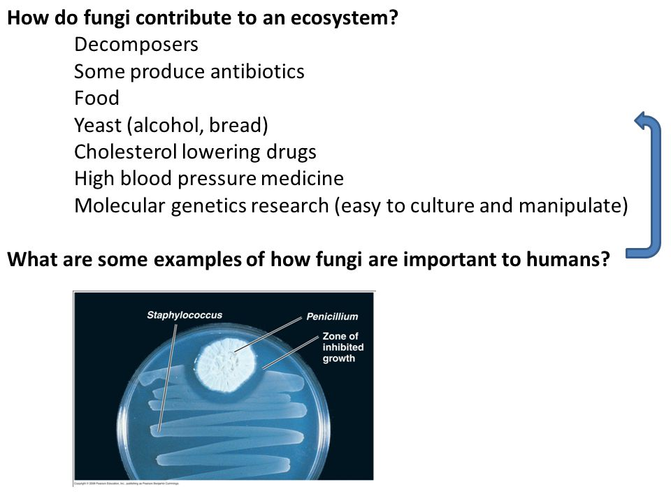 How do fungi contribute to an ecosystem