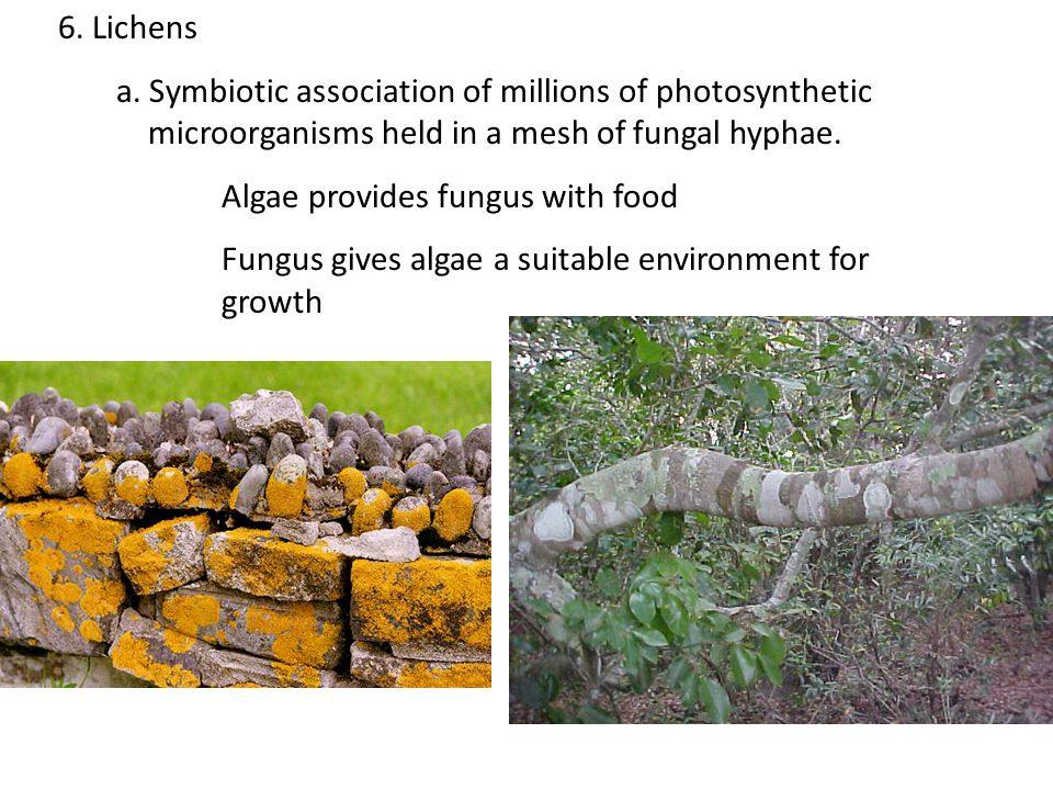 6. Lichens a. Symbiotic association of millions of photosynthetic microorganisms held in a mesh of fungal hyphae.