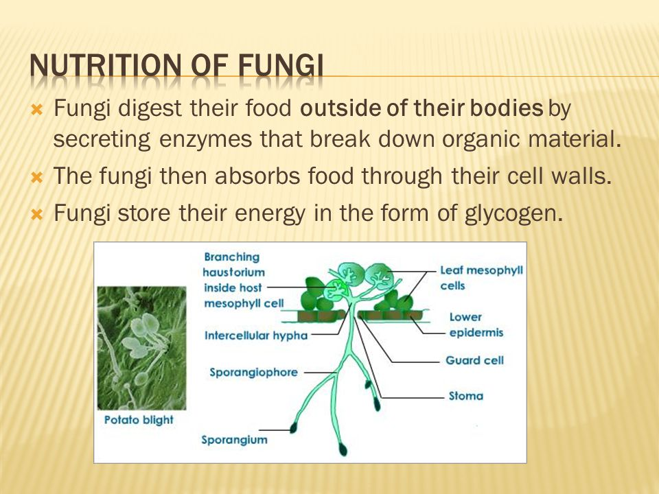 Nutrition of fungi Fungi digest their food outside of their bodies by secreting enzymes that break down organic material.