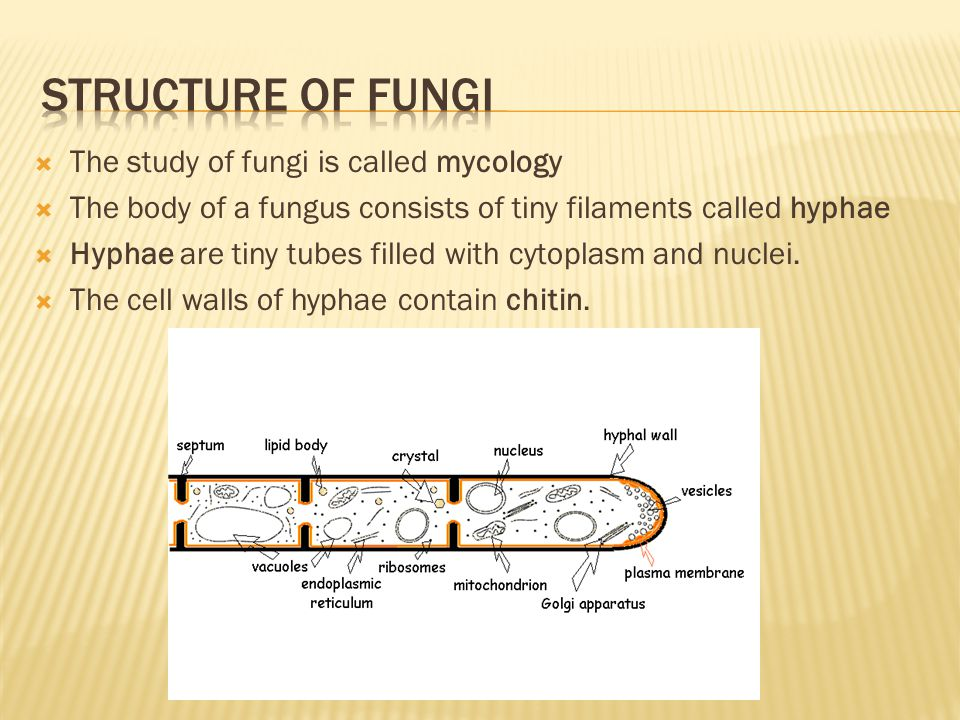 Structure of fungi The study of fungi is called mycology