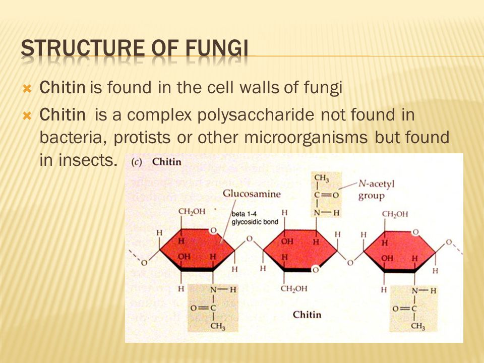 Structure of fungi Chitin is found in the cell walls of fungi