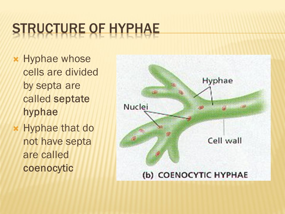 Structure of hyphae Hyphae whose cells are divided by septa are called septate hyphae.