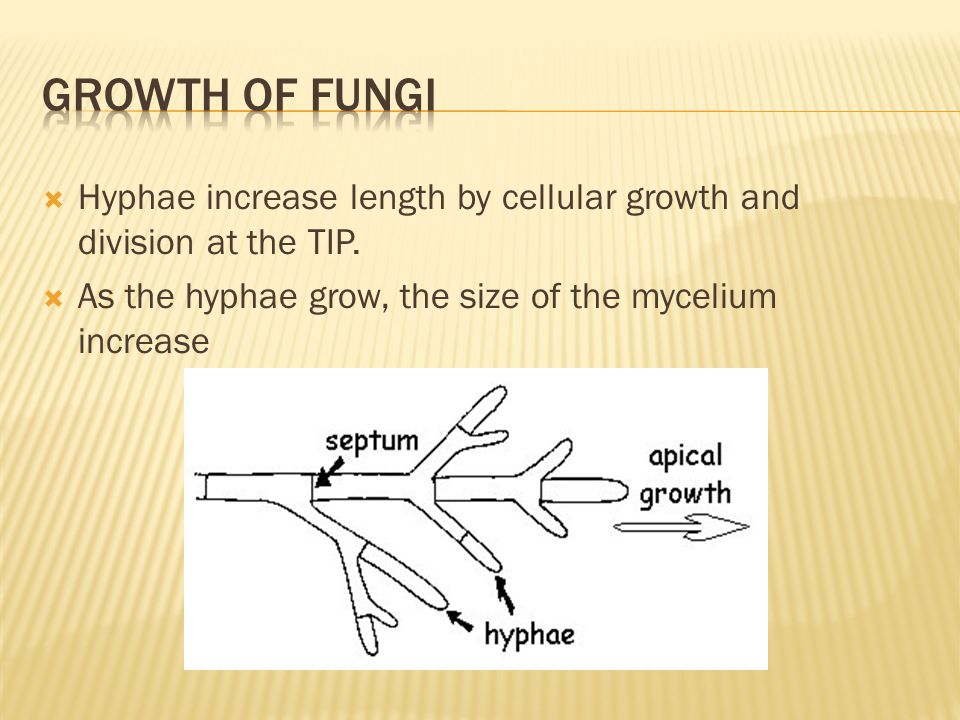 Growth of fungi Hyphae increase length by cellular growth and division at the TIP. As the hyphae grow, the size of the mycelium increase.