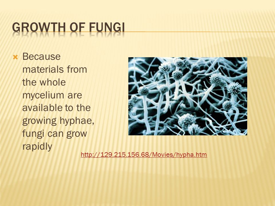 Growth of fungi Because materials from the whole mycelium are available to the growing hyphae, fungi can grow rapidly.