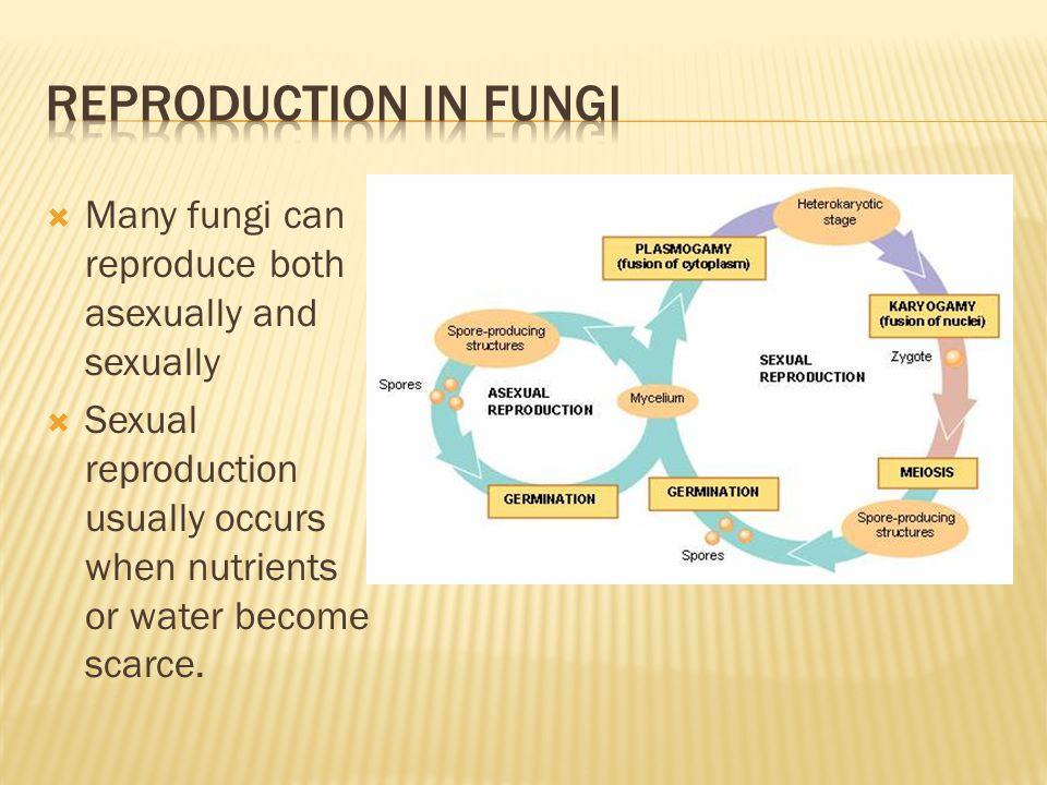 Reproduction in fungi Many fungi can reproduce both asexually and sexually.