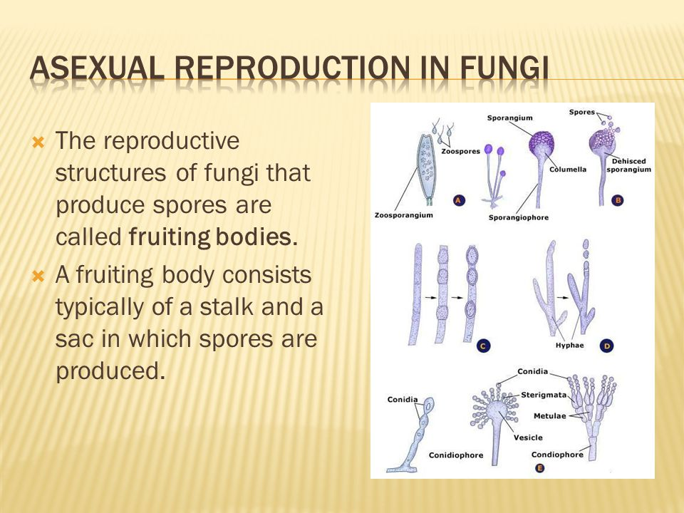 Asexual reproduction in fungi