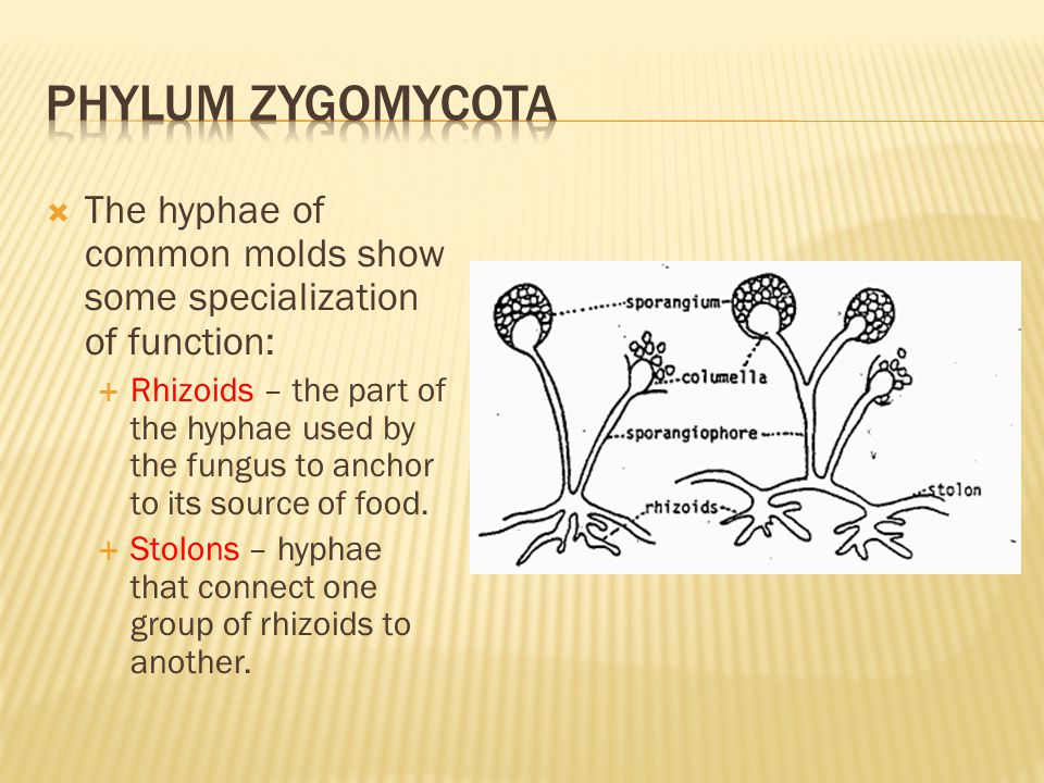 Phylum zygomycota The hyphae of common molds show some specialization of function: