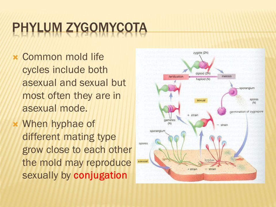 Phylum zygomycota Common mold life cycles include both asexual and sexual but most often they are in asexual mode.