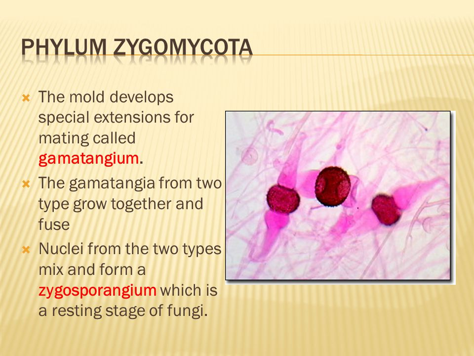 Phylum zygomycota The mold develops special extensions for mating called gamatangium. The gamatangia from two type grow together and fuse.