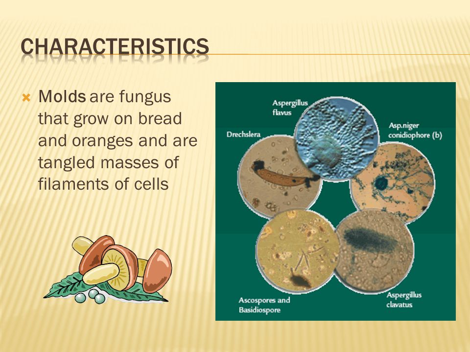 Characteristics Molds are fungus that grow on bread and oranges and are tangled masses of filaments of cells.