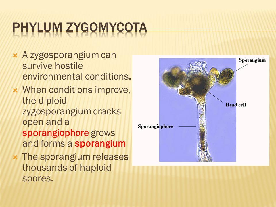Phylum Zygomycota A zygosporangium can survive hostile environmental conditions.