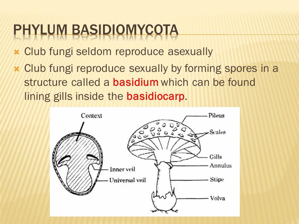 Phylum basidiomycota Club fungi seldom reproduce asexually