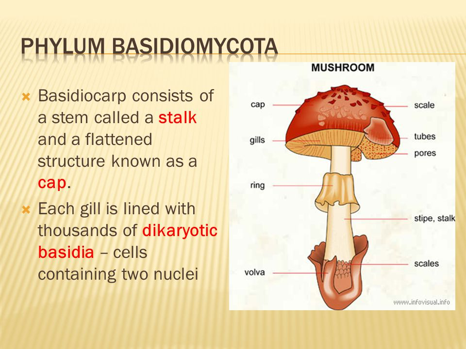Phylum basidiomycota Basidiocarp consists of a stem called a stalk and a flattened structure known as a cap.