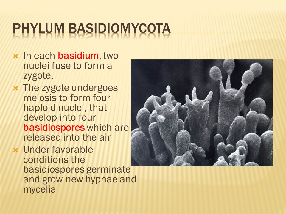 Phylum basidiomycota In each basidium, two nuclei fuse to form a zygote.