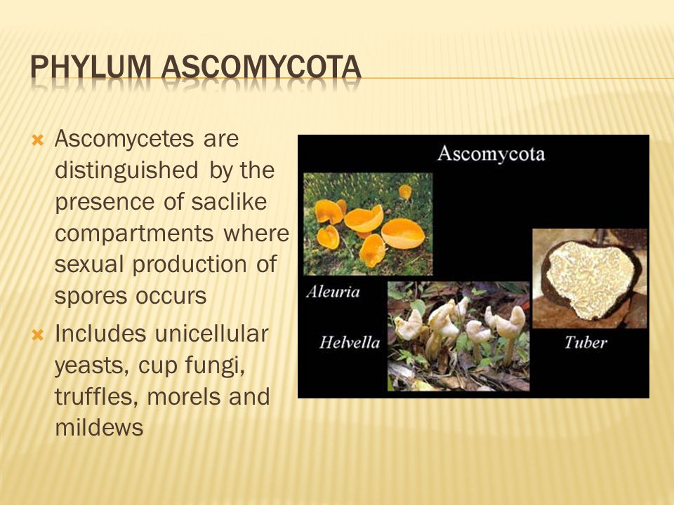 Phylum ascomycota Ascomycetes are distinguished by the presence of saclike compartments where sexual production of spores occurs.