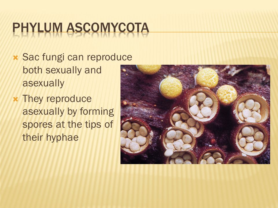 Phylum ascomycota Sac fungi can reproduce both sexually and asexually