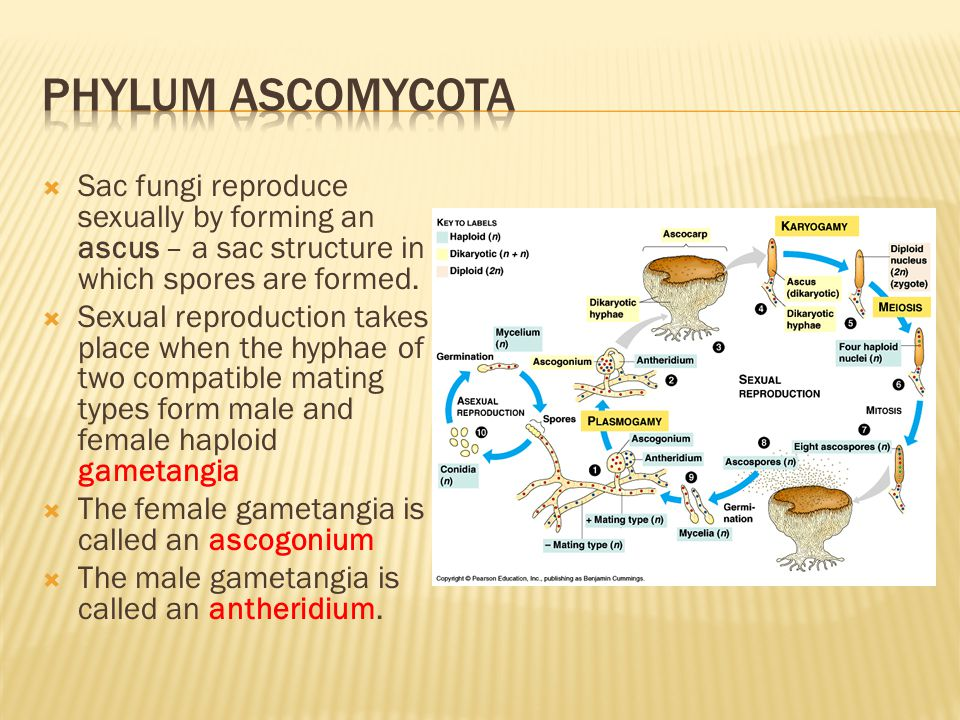 Phylum ascomycota Sac fungi reproduce sexually by forming an ascus – a sac structure in which spores are formed.