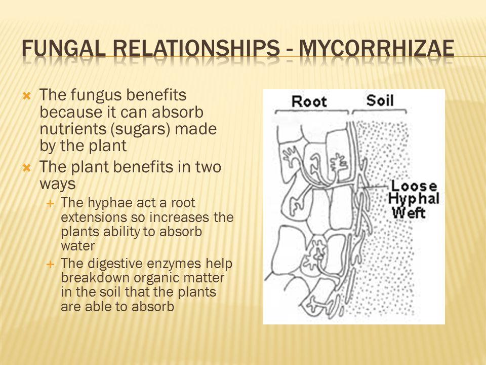 fungal relationships - mycorrhizae