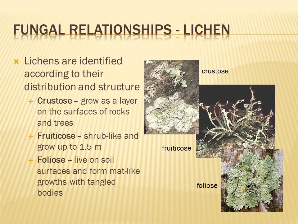 Fungal relationships - lichen