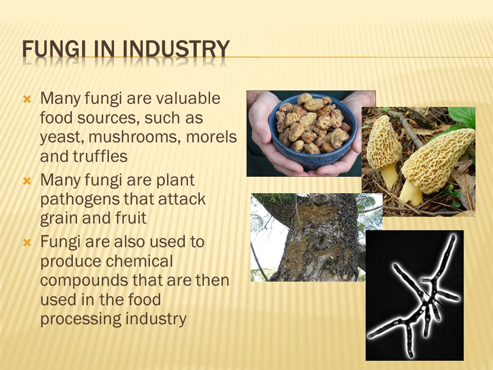 Fungi in industry Many fungi are valuable food sources, such as yeast, mushrooms, morels and truffles.