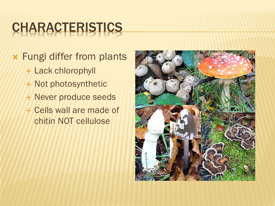 Characteristics Fungi differ from plants Lack chlorophyll