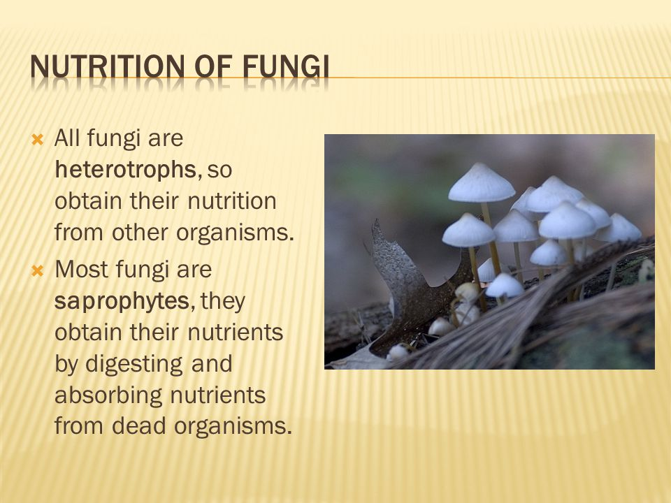 Nutrition of fungi All fungi are heterotrophs, so obtain their nutrition from other organisms.
