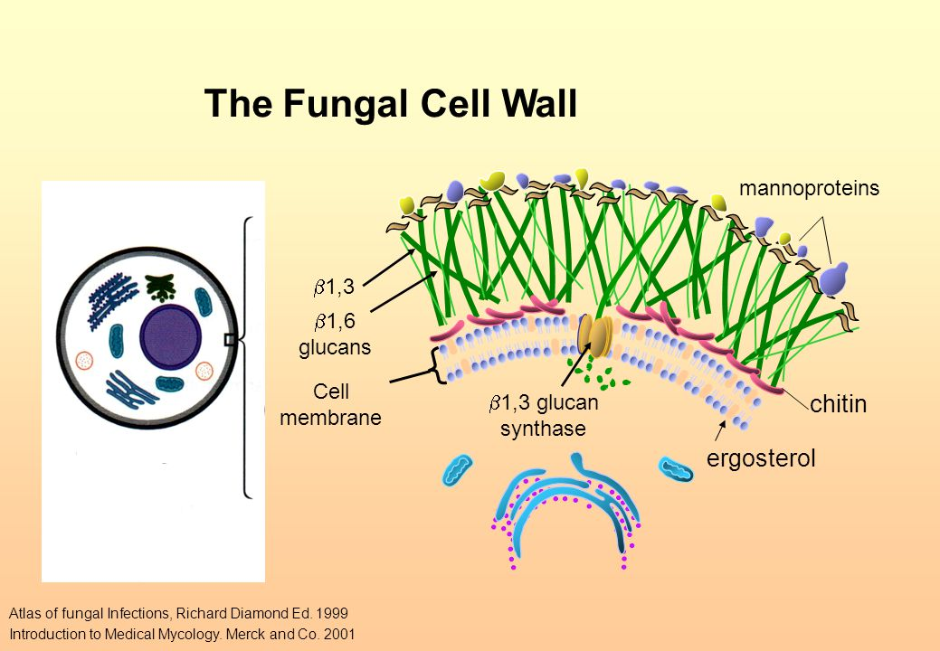 The Fungal Cell Wall chitin ergosterol mannoproteins b1,3 b1,6 glucans