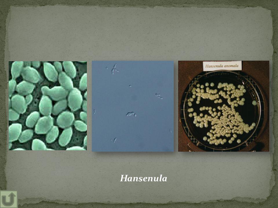 Hansenula