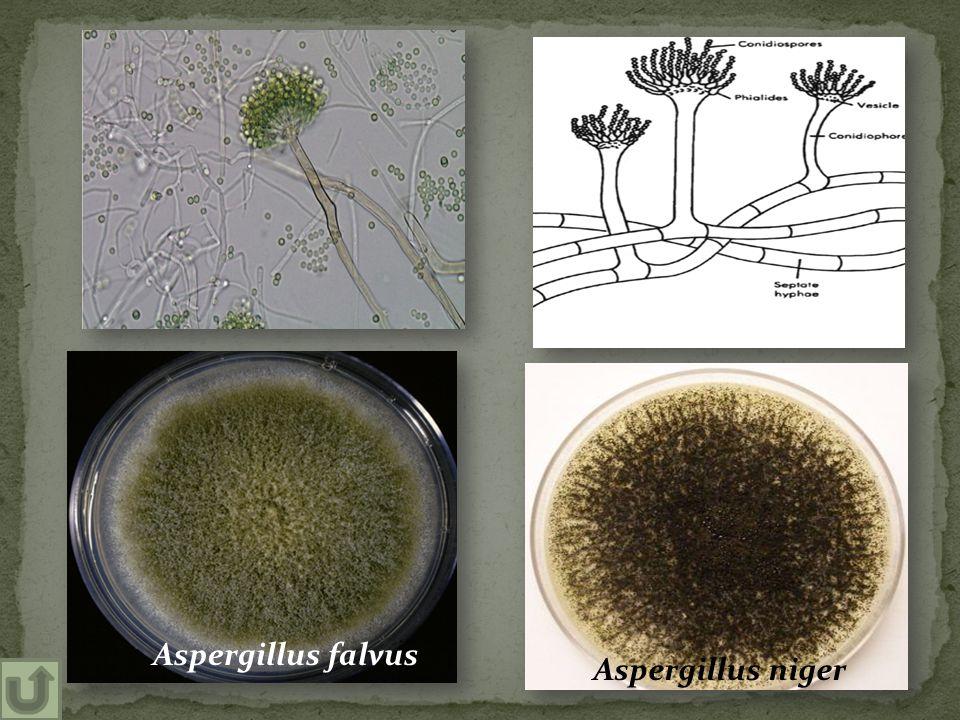 Aspergillus falvus Aspergillus niger