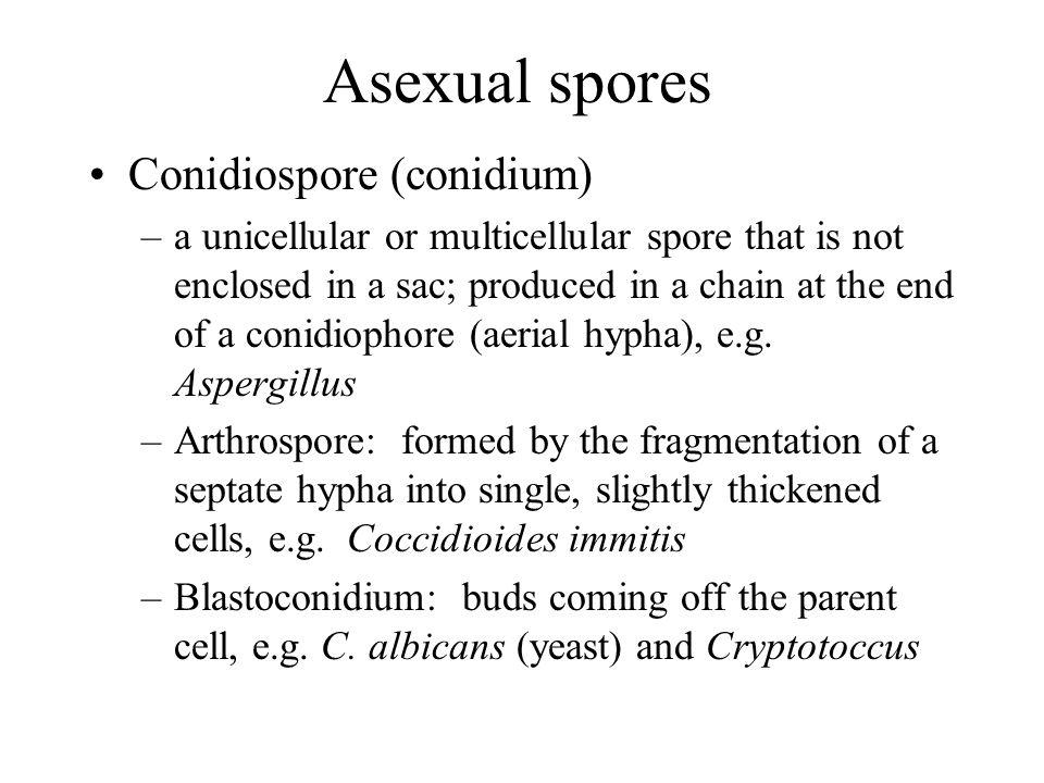 Asexual spores Conidiospore (conidium)