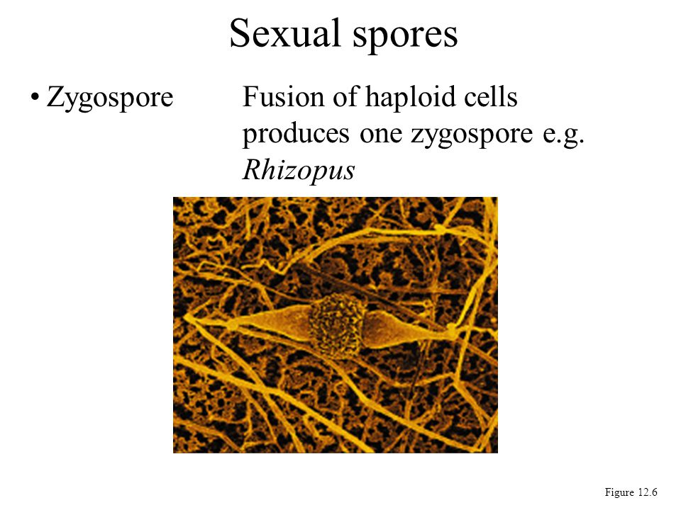 Sexual spores Zygospore Fusion of haploid cells produces one zygospore e.g. Rhizopus Figure 12.6