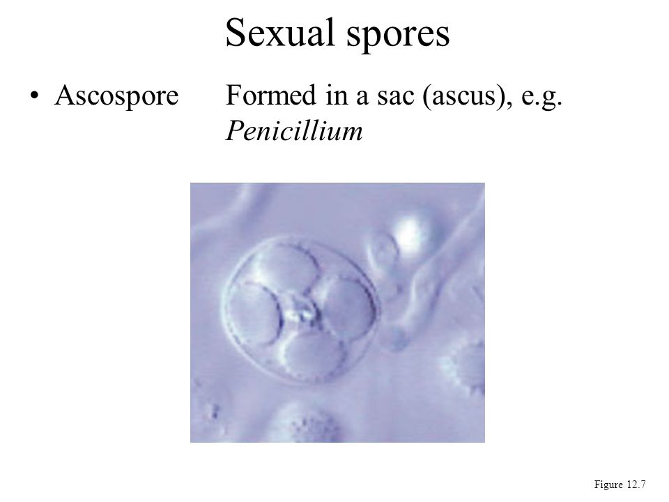 Sexual spores Ascospore Formed in a sac (ascus), e.g. Penicillium