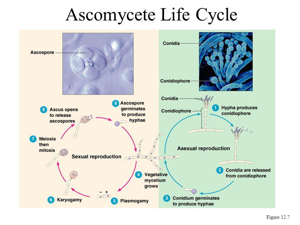 Ascomycete Life Cycle Figure 12.7