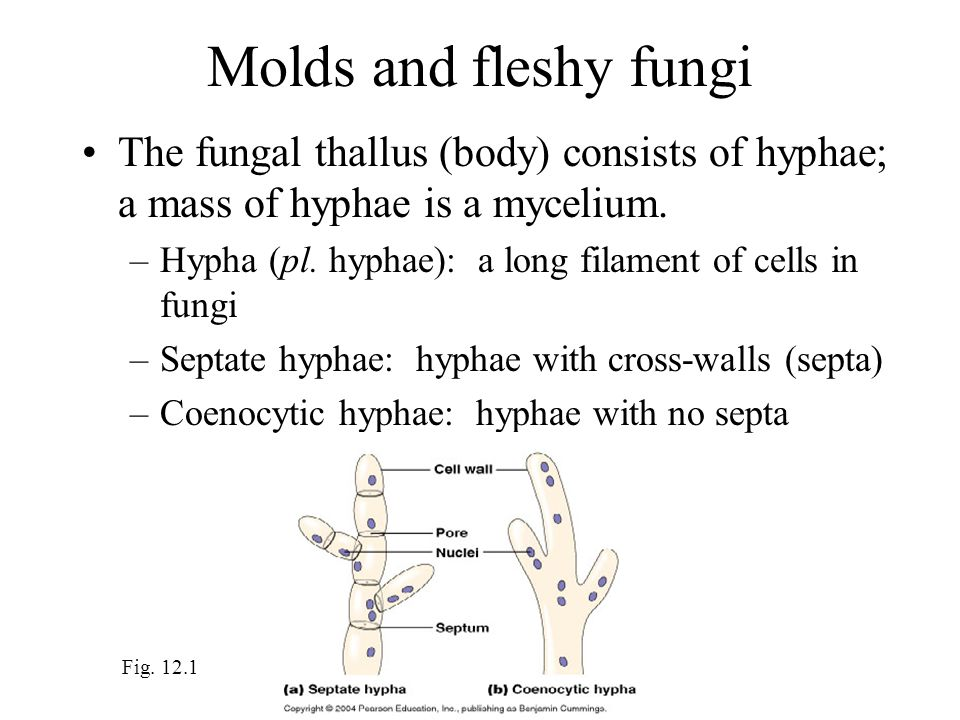Molds and fleshy fungi The fungal thallus (body) consists of hyphae; a mass of hyphae is a mycelium.