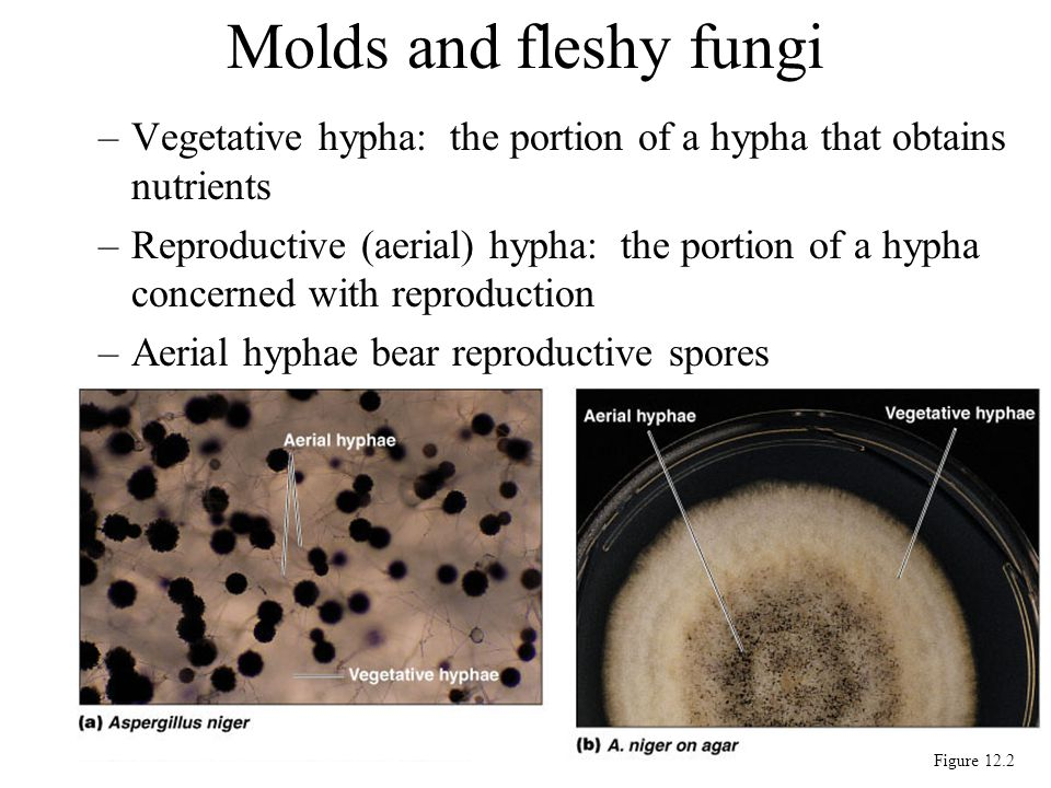 Molds and fleshy fungi Vegetative hypha: the portion of a hypha that obtains nutrients.