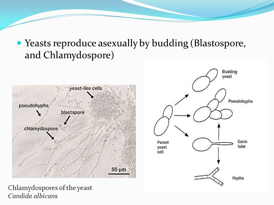 Yeasts reproduce asexually by budding (Blastospore, and Chlamydospore)