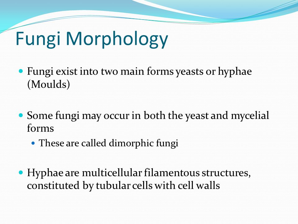 Fungi Morphology Fungi exist into two main forms yeasts or hyphae (Moulds) Some fungi may occur in both the yeast and mycelial forms.