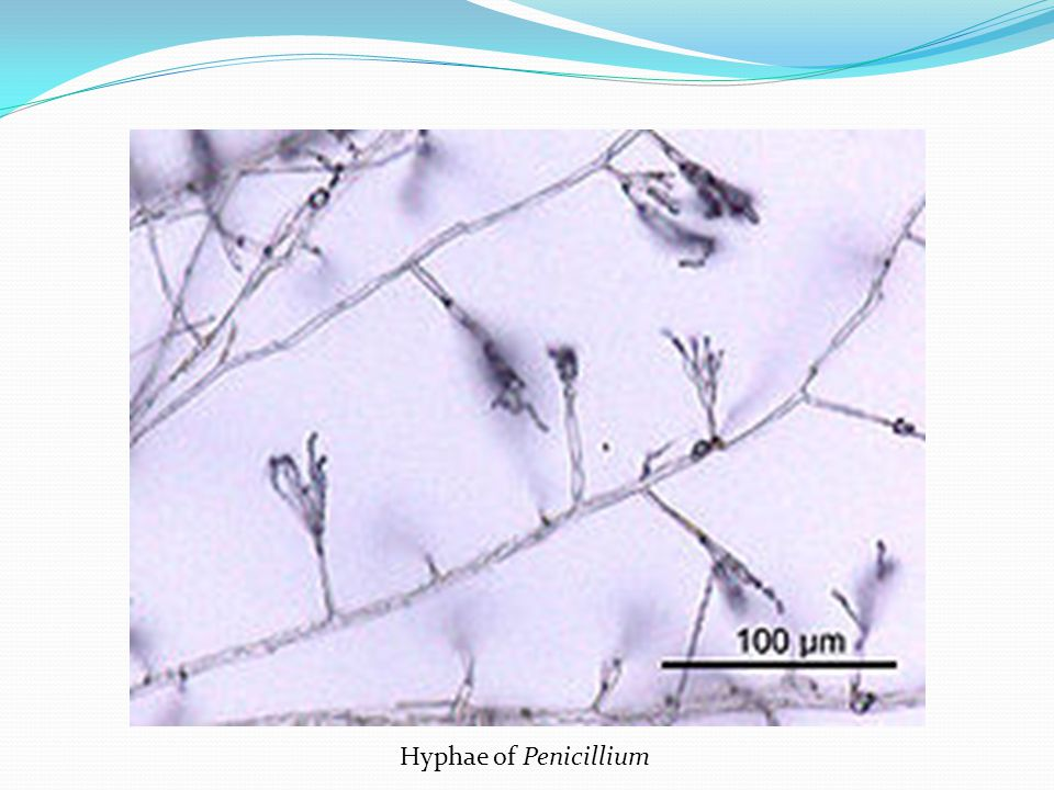 Hyphae of Penicillium