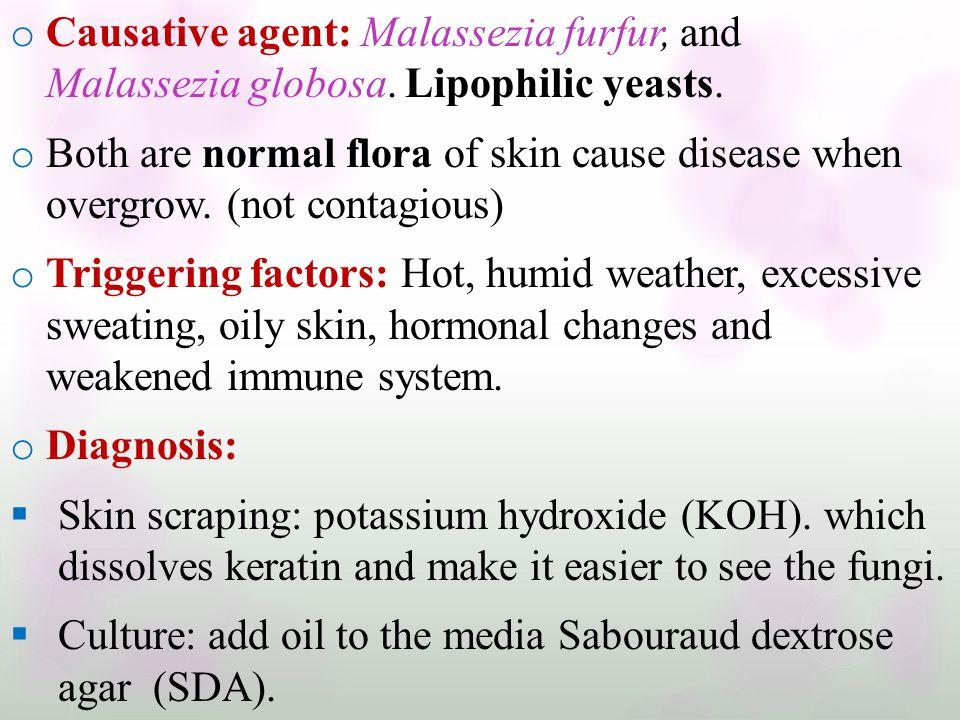 Causative agent: Malassezia furfur, and Malassezia globosa