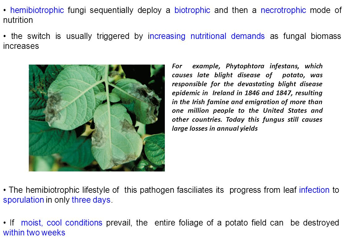 • hemibiotrophic fungi sequentially deploy a biotrophic and then a necrotrophic mode of nutrition
