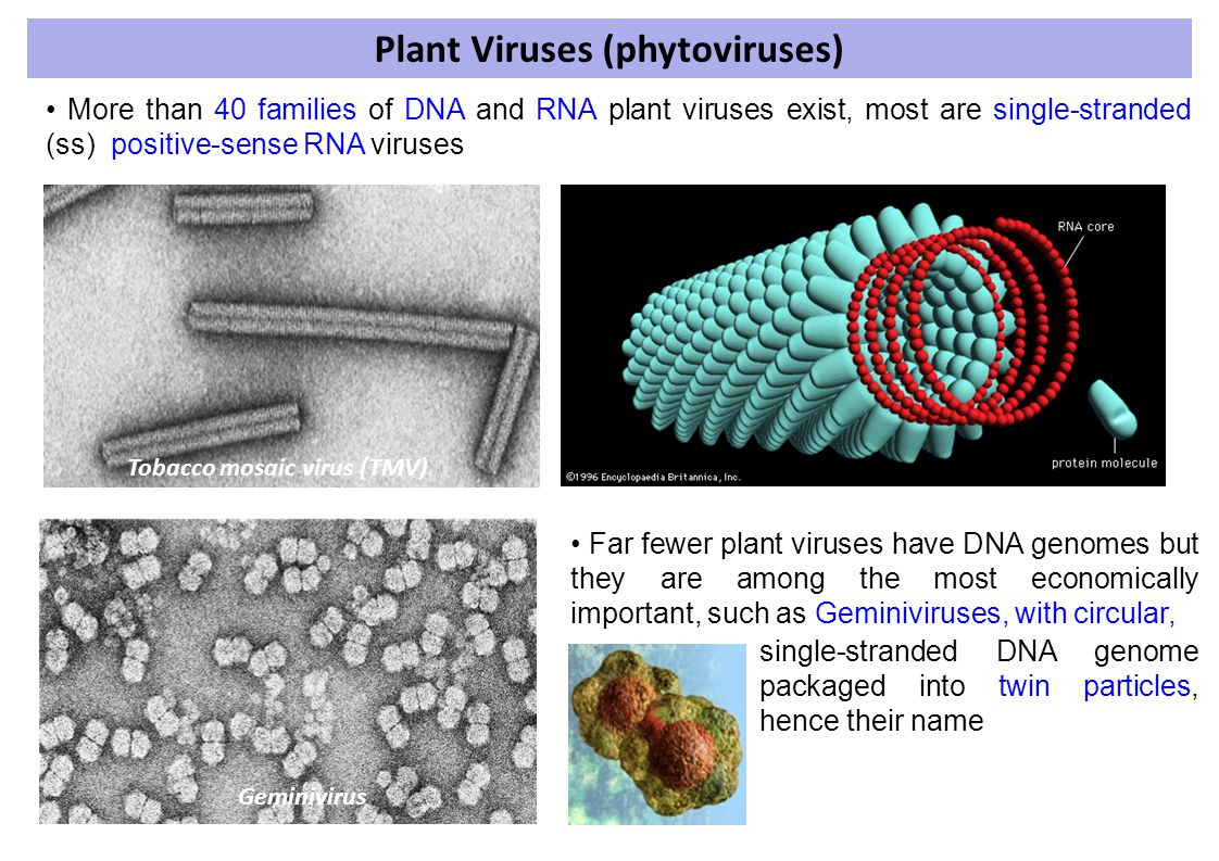 Plant Viruses (phytoviruses)