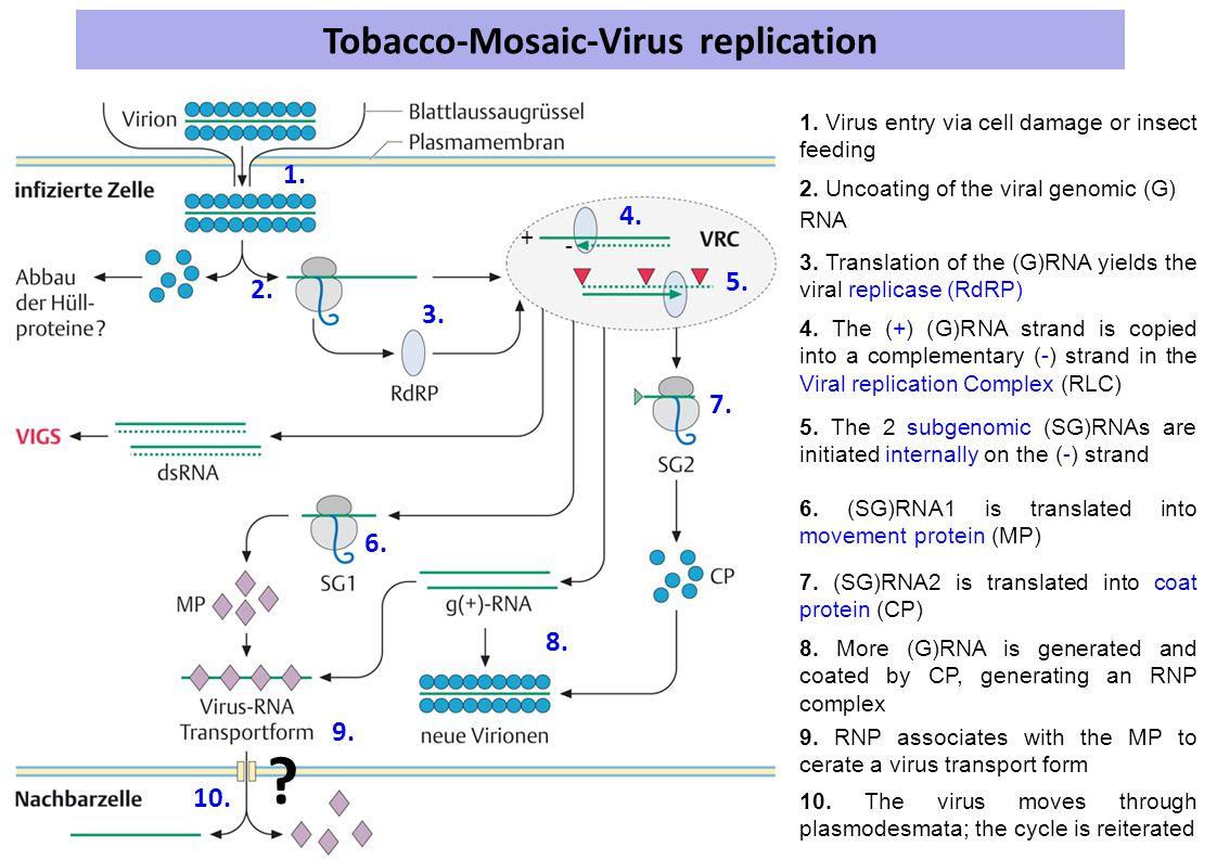 Tobacco-Mosaic-Virus replication